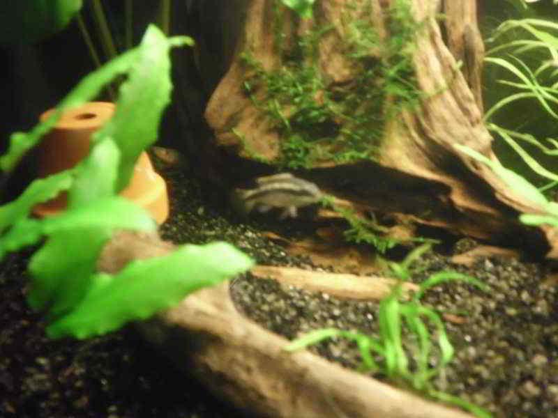 http://www.aquariumgids.be/media/kunena/attachments/120/DSCI0304.JPG